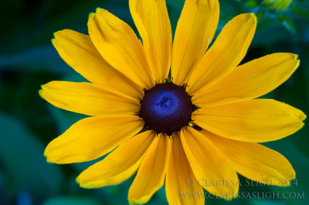 Black Eyed Susan Face